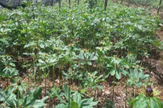贵珍草种植