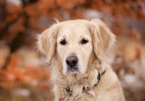 大嘴狗带你了解犬的智商排行
