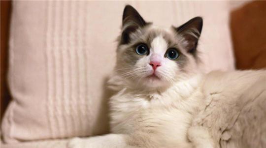 大嘴狗世界宠物猫图鉴(一)·布偶猫