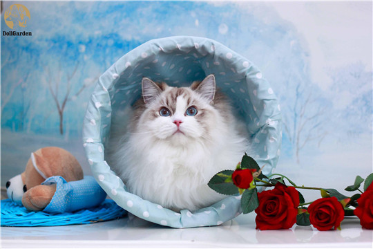 DollGarden布偶猫舍