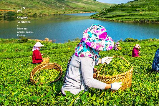 嵛山岛有机白茶