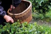 茶王赞名人老白茶加盟