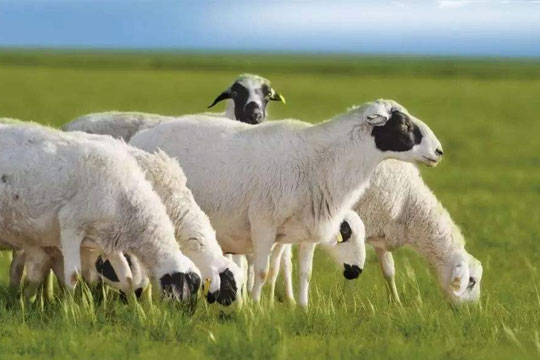 仟羊仟牧加盟