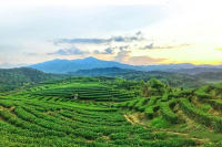 国昂老白茶加盟